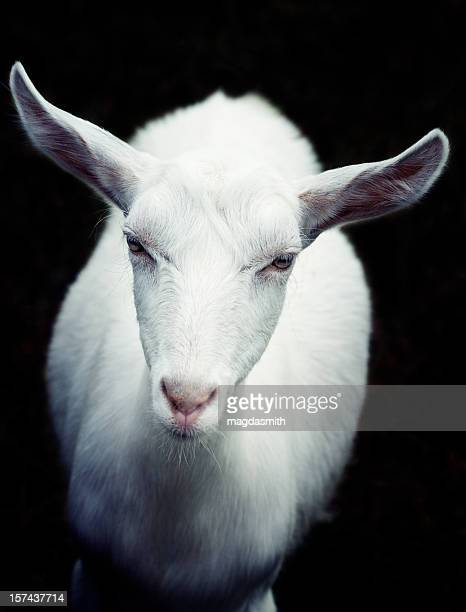 white goat looking at camera