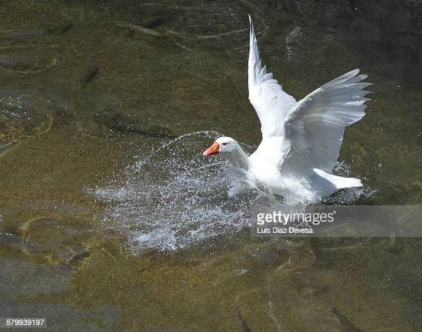 White goose  landing on water with wings out