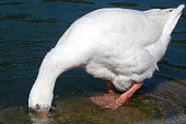 White Goose playing the ostrich
