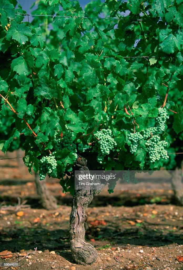 White grapes growing on a vine at Chinon Vineyard Chinon in the Loire Valley France