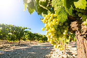White grapes in a vineyard, in sunny day