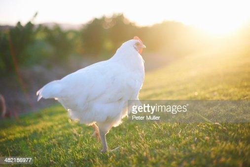 White hen in sunlight