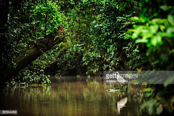 White Heron in Sukao Park in the state of Sabah Borneo island Malaysia