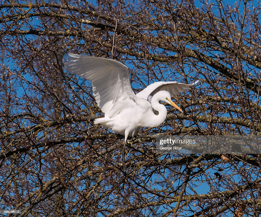 A white heron perches in a tree overlooking the Russian River on January 24, 2014, in Healdsburg, California. With 2013 the driest year in recorded history and several municipalities along the Russian River enacting mandatory water restrictions, Governor Jerry 'Edmund' Brown has declared a water 'State of Emergency' for all of California.