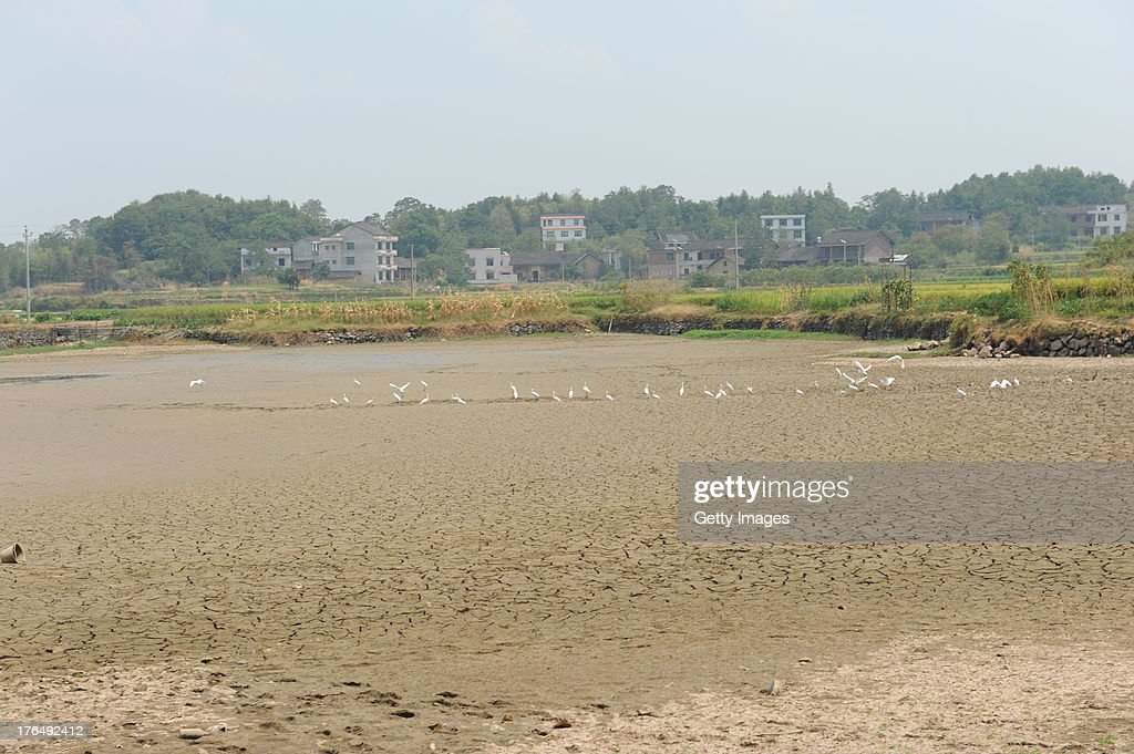 White herons search for food at a dried-up pond at Baima village on August 13, 2013 in Loudi, China. A lingering drought has dried up most of rivers and reservoirs in Hunan province as high temperatures and little rainfall this summer, leaving about 3.06 million people short of drinking water.