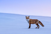 In Biei you can see the fox when the sun sets