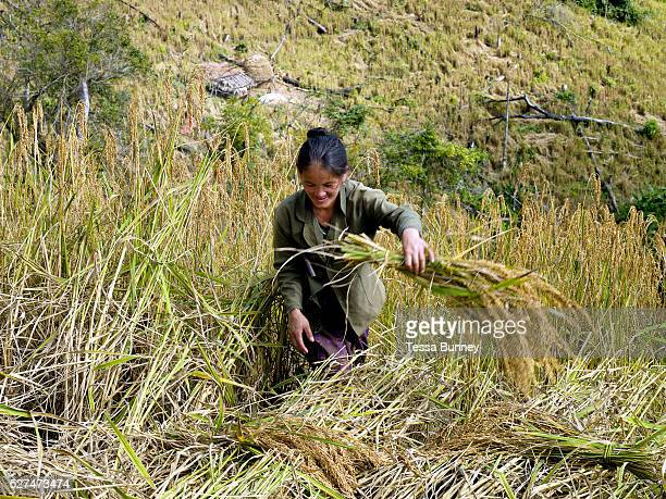 A White Hmong ethnic minority woman harvesting glutinous rice using a sickle on an upland field Ban Hauywai Phongsaly province Lao PDR Compared to...