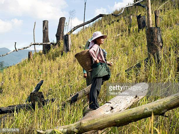 A White Hmong ethnic minority woman taking a break from collecting the harvested glutinous rice on an upland field Ban Hauywai Phongsaly province Lao...