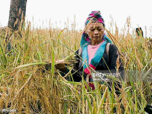 A White Hmong ethnic minority woman wearing her traditional clothing harvesting glutinous rice using a sickle on an upland field Ban Hauywai...