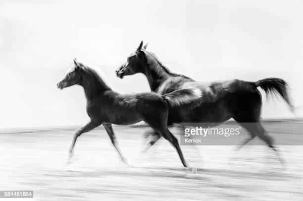 witte paard en veulen galopperend - zwart-wit, sepia, vintage