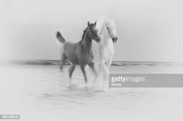 white horse and foal galloping - monochrome, sepia, vintage