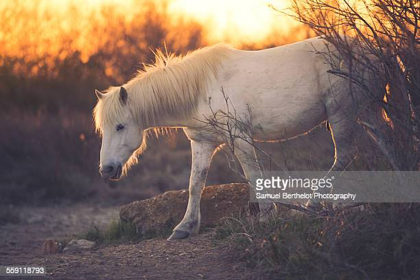 White horse at sunset