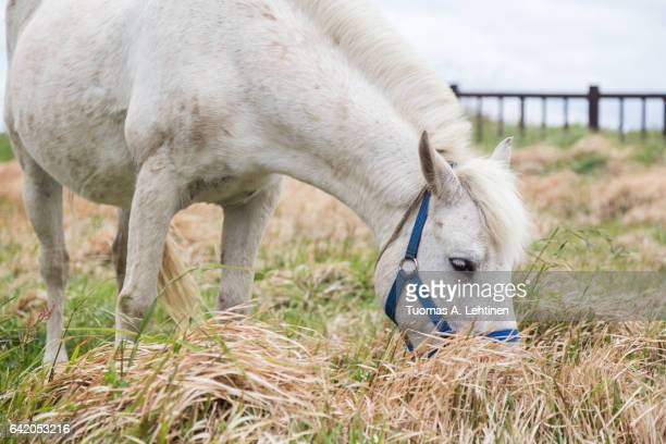 White horse eating grass at a field on the Jeju Island in South Korea.