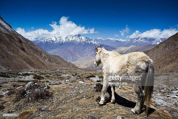 CONTENT] A white horse facing the Annapurnas range of mountains just after the Thorong La pass at 5416m this way leads to the village of Muktinath in...