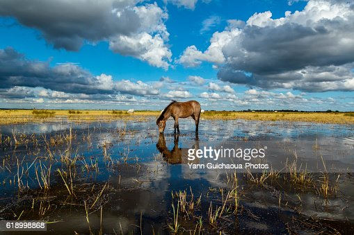 White horse foal in the Camargue, France