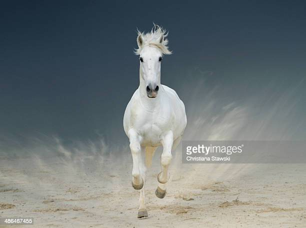 White horse standing on hind legs - photo#25