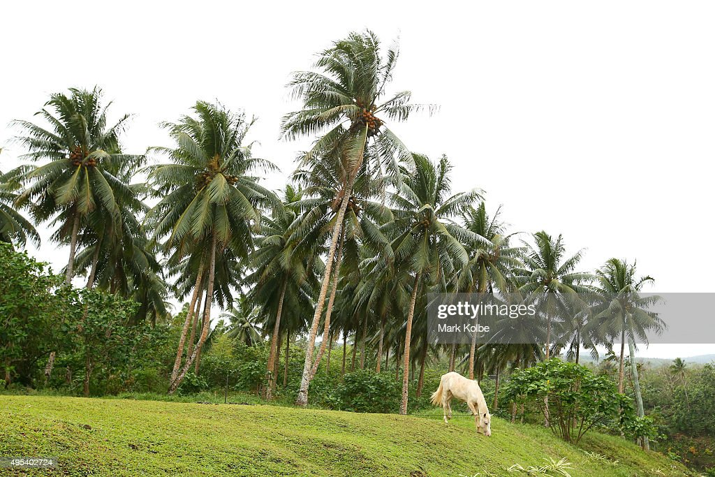 A white horse grazes under palm trees in a small village on the Upolu island on September 12 2015 outside Apia Samoa