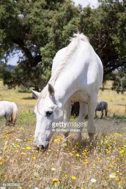 White horse grazing on a dehesa
