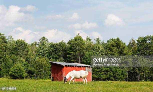 A white horse is framed by a red barn while grazing along Bridgton Road on a hot Saturday afternoon