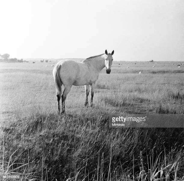 A white horse on Romney Marshes Kent 2nd August 1954