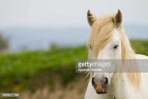 White horse : Stock Photo