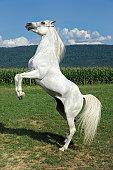 White Horse Rearing Up, Arabian Stallion