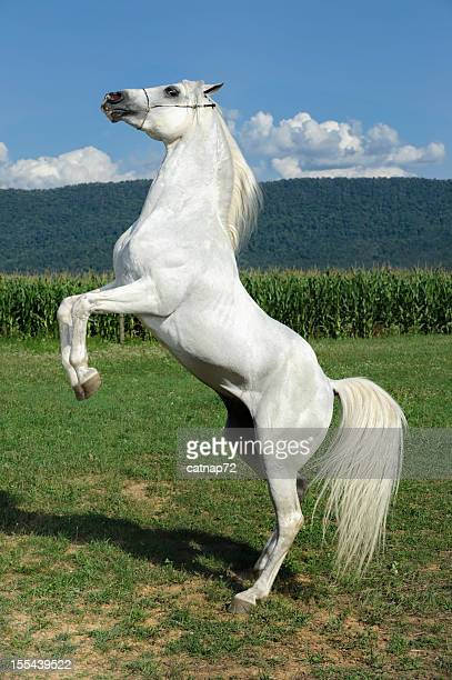 White Horse Rearing Up, Arabian Stallion