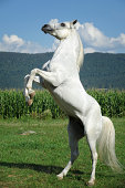White Horse Rearing Up in Summer Field
