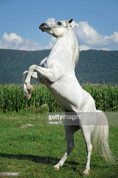 White horse standing on hind legs - photo#16