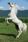 White Horse Rearing Up, Side View