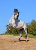 White horse rears