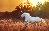 white horse run left on the sunset and pain-tree background in the tall orange grass