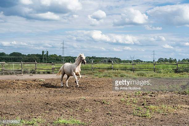 White horse running in open field with sky overcast