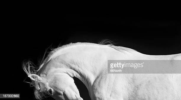 White Horse Stallion Andalusian Black