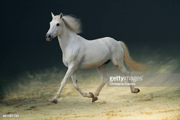 White horse trotting on sand