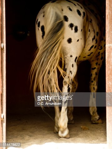 White horse with tail : Stock Photo