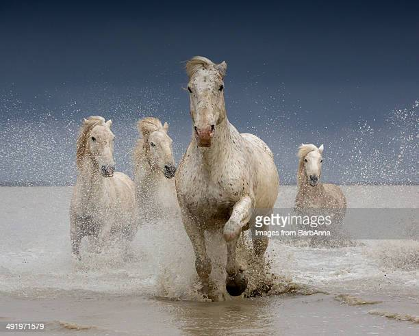 White horses of the Camargue on a stormy day