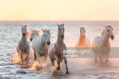 White horses running through water, The Camargue