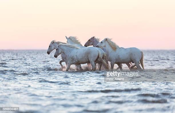 White horses walking through water