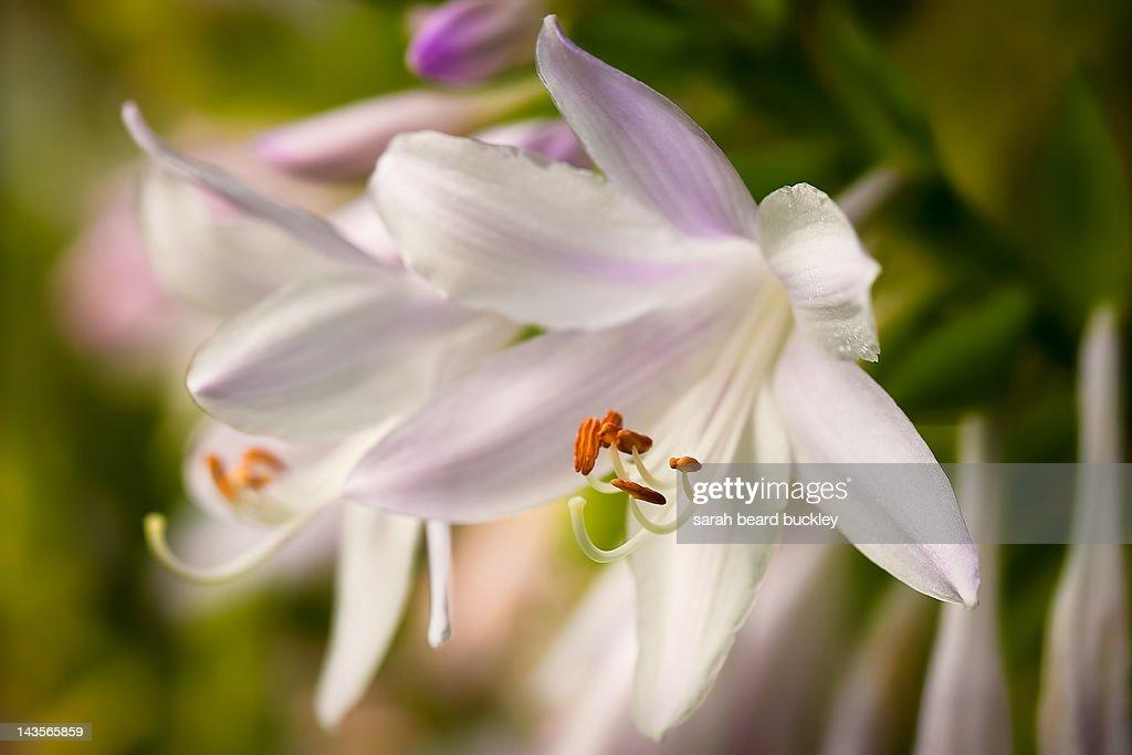 White hosta blooms : Stock Photo
