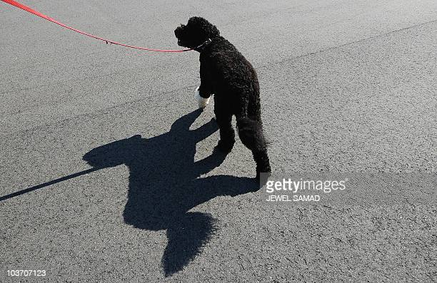 A White House staff brings Bo US President Barack Obama's family dog to board a helicopter on Martha's Vineyard Massachusetts on August 29 2010 AFP...