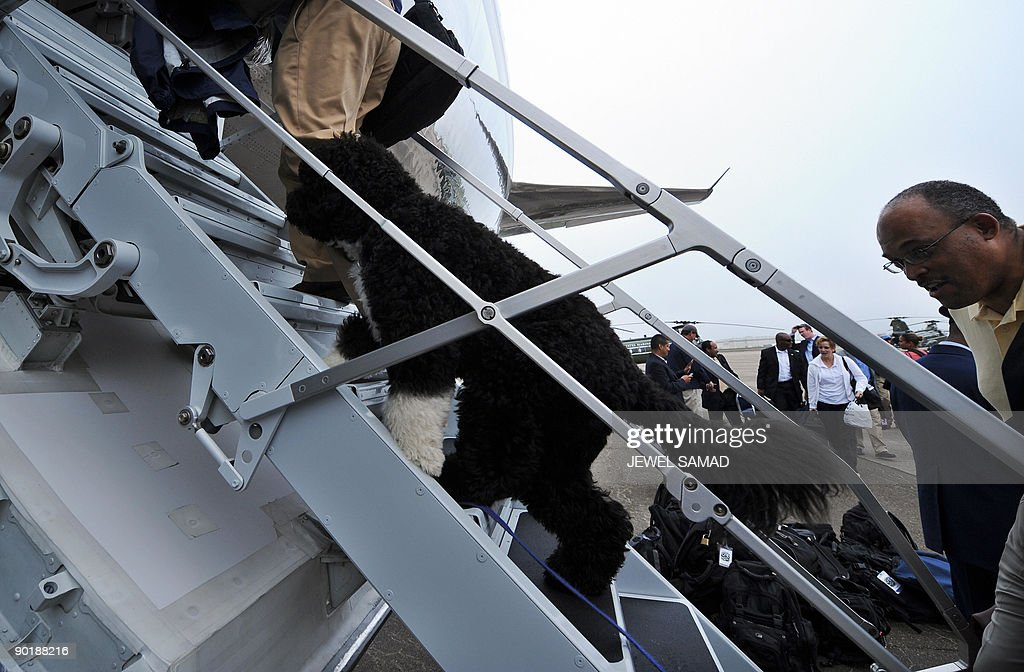 A White House staff takes the US First Family dog Bo on board the the Air Force One in Cape Cod on Martha's Vineyard, Massachusetts, on August 30, 2009 en route to Washington, DC. AFP PHOTO/Jewel SAMAD