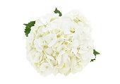 White hydrangea flower head isolated on white
