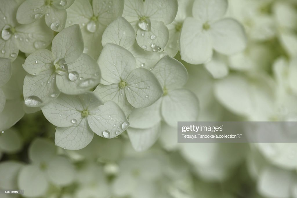 White Hydrangea Flowers : Stock Photo