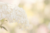 Softness White Hydrangea pastel colored. Selective focus