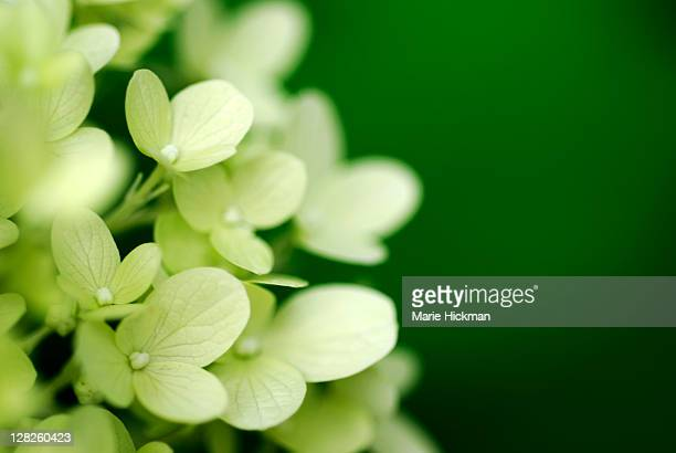 White Hydrangea with green background