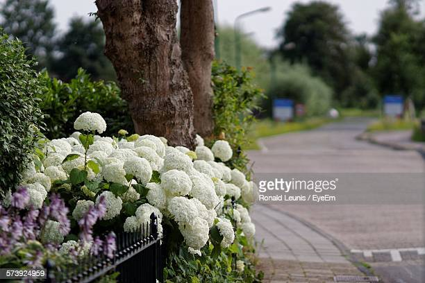 White Hydrangeas Blooming In Garden
