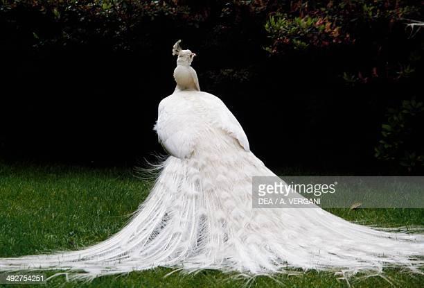 White Indian peafowl Phasianidae Isola Bella Borromean Islands Lake Maggiore Italy
