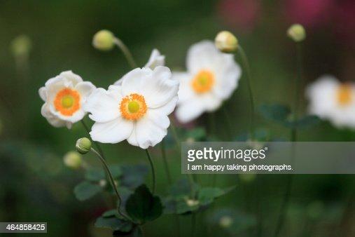 White Japanese anemone