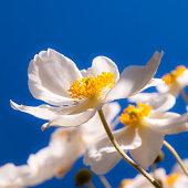 flower close up: white japanese autumn anemone